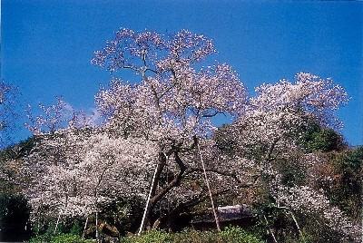 風光明媚な明星桜!!観光で桜を見るなら佐賀県伊万里市!